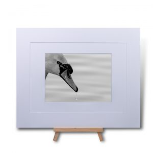 Swan Droplet Double Mounted Print