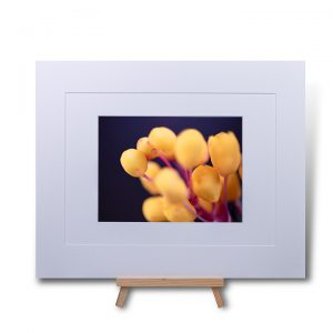 Yellow Buds Double Mounted Print